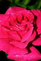 Rose by cardinal