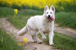 Cherie Perly white shepherd by Hikari-No-Megami