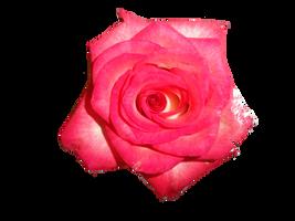 Rose by Alexir563