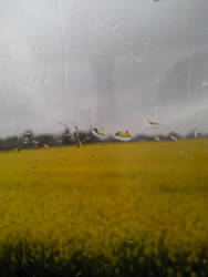 Colza field in rain by Phyridis