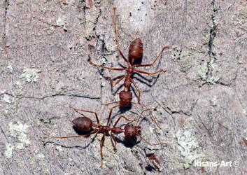 Ants (Kerengga) by ihsans-Art