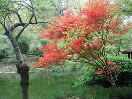 Japanese Maple in Autumn by lockstock