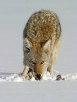 Coyote by Gregro