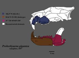 Skull of Proborhyaena by Zimices
