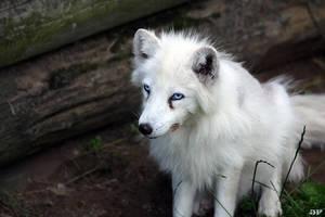 Polar fox Polle by JaneFox
