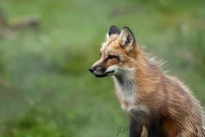 Red fox by JaneFox
