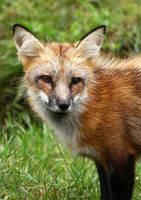 Fox portrait by JaneFox