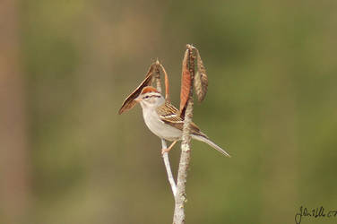 Chipping Sparrow by ringtaillemur