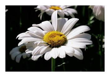 Daisy by bwaa