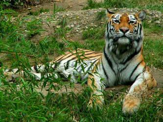 Tigers Pride by Netreya