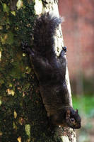 Black Squirrel (Sciurus carolinensis) by WanderingMogwai