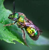 The Metallic Green Bee - Augochloropsis metallica by WanderingMogwai