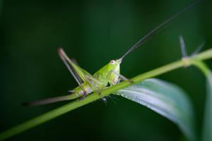 Female Hopper  by WanderingMogwai
