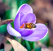 First Honeybee 2018 by WanderingMogwai