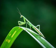 Young Mantis  by WanderingMogwai