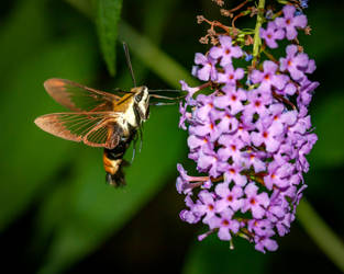Snowberry Clearwing  Hemaris diffinis - 2018 by WanderingMogwai