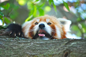 Red Panda by Raanu