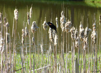 Redwing Blackbird On Reeds by seaglasshunter