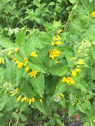 Yellow flowers by Makeamukero