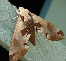 Moth by 9Avalon9