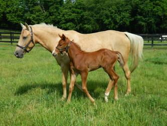 Thoroughbred Foal 2 by xKenren