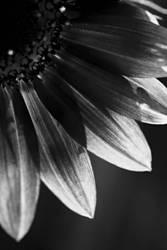 Sunflower VIII by xXCold-FireXx