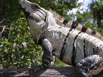 Wild iguana sunbathing by Perosha