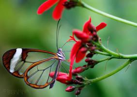 Butterfly 01 by stevezpj
