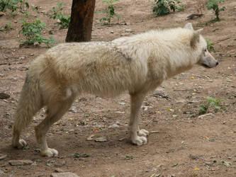 White Wolf 011 by animalphotos
