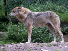 Gray Wolf 08 by animalphotos