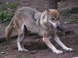 Gray Wolf 09 by animalphotos