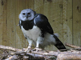 American Harpy Eagle 03 by animalphotos