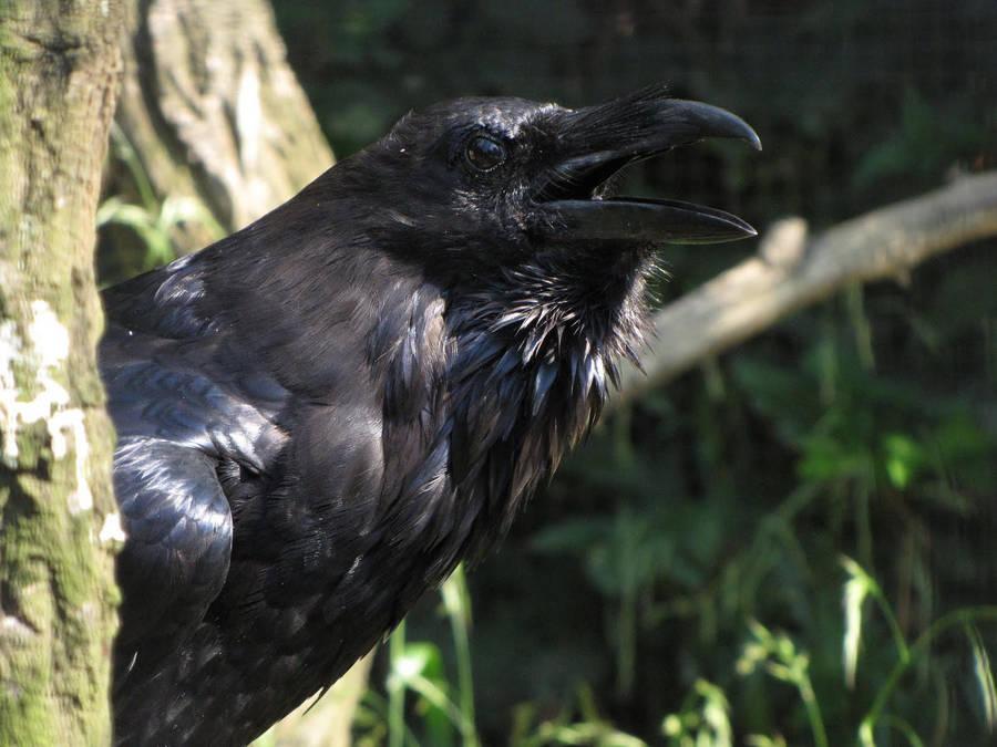 Common Raven by animalphotos