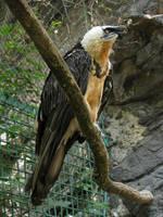 Bearded Vulture 02 by animalphotos