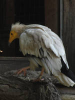 Egyptian Vulture 02 by animalphotos