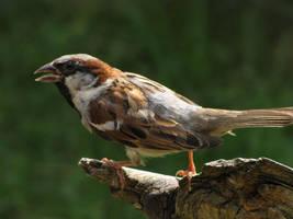 House Sparrow Male 01 by animalphotos