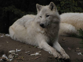North American Arctic Wolf 09 by animalphotos