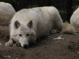 North American Arctic Wolf 10 by animalphotos