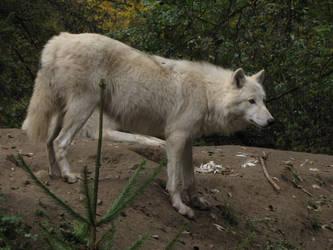 North American Arctic Wolf 33 by animalphotos