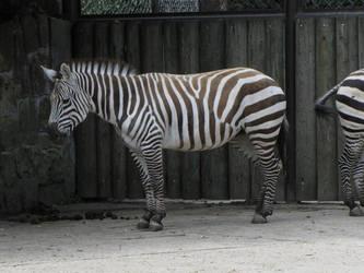 Grant's Zebra 02 by animalphotos