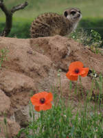 Meerkat 09 by animalphotos