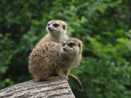 Meerkat 10 by animalphotos
