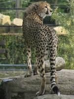 Cheetah 12 by animalphotos