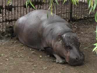Pygmy Hippopotamus 06 by animalphotos