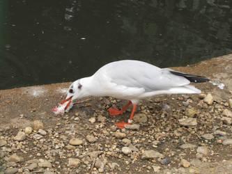 Common Black-headed Gull 01 by animalphotos