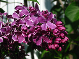 Lilas by Watever44