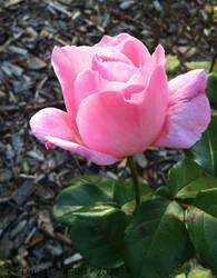 Pink Filled Love by TwistDragon