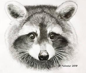 Raccoon (Procyon lotor) by Tulinatur