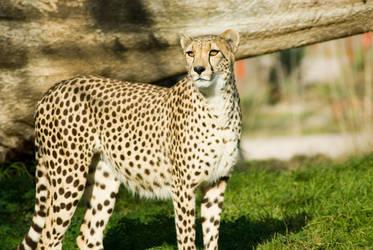 Cheetah by bakainu