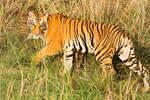 Tiger walking by Ravinss